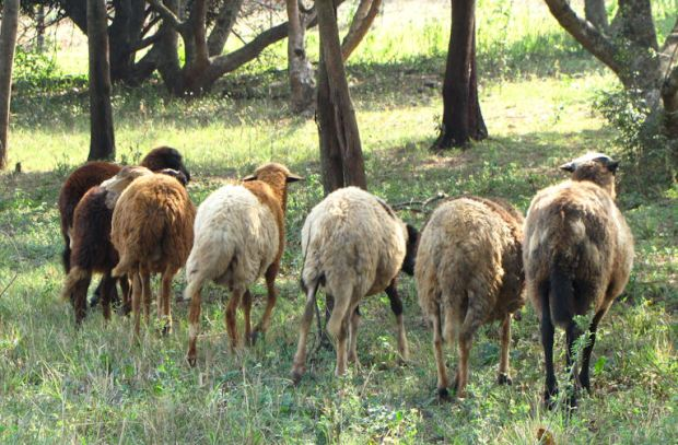 enaleni-sheep-tails-res-jpg