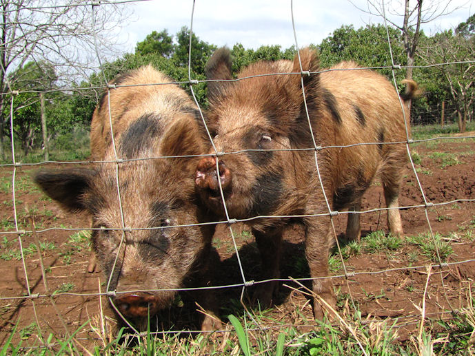 enaleni-spotted-colbrook-pigs-res-jpg