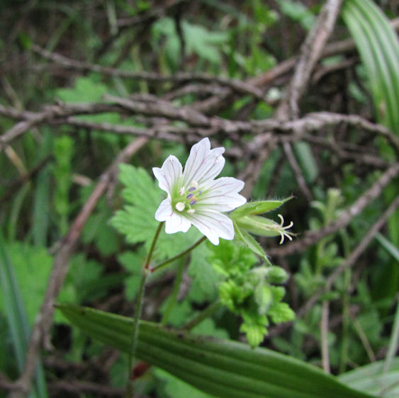 geranium in hlatikulu RES.