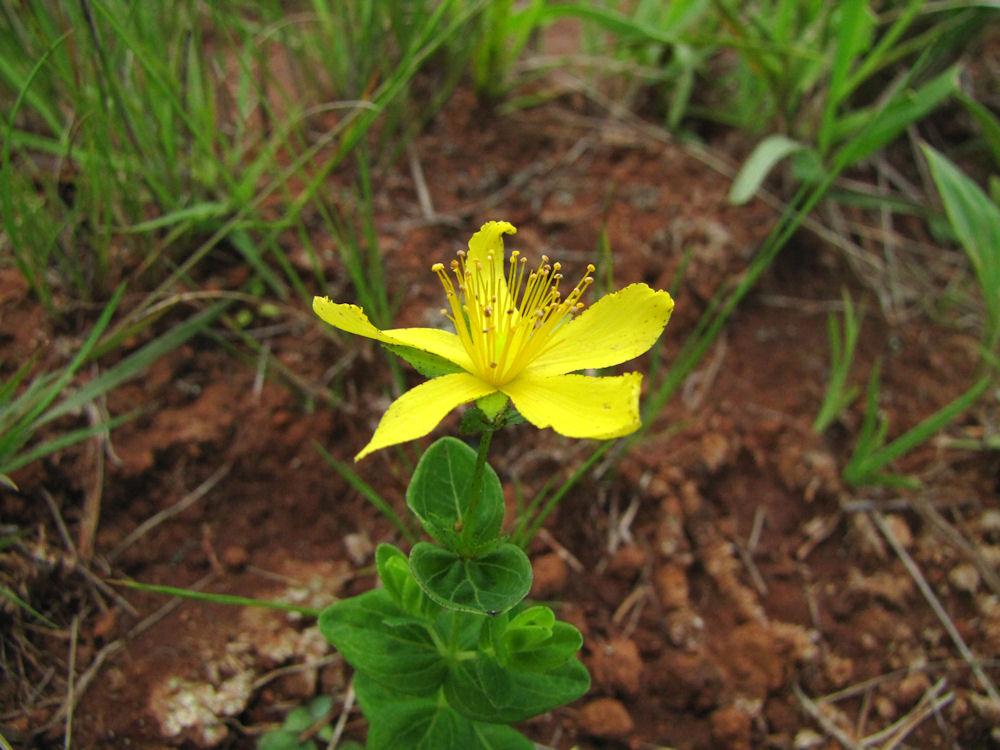 Hypericum aethiopicum.res