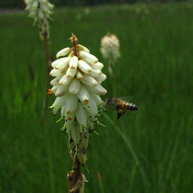 Kniphofia albescens and bee.RES CROP. JPG