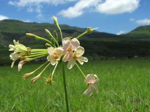 Pelargonium luridium res.