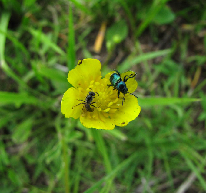 Ranunculus with beetle and bee