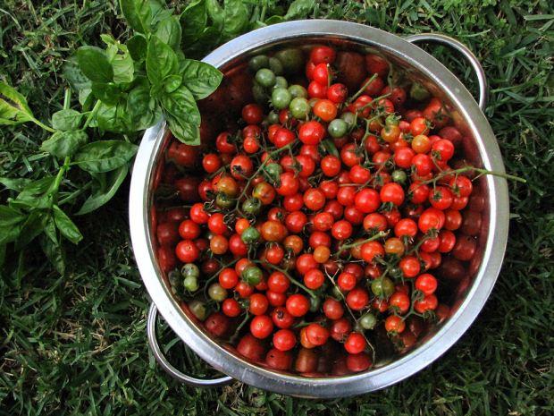res. tomato harvest