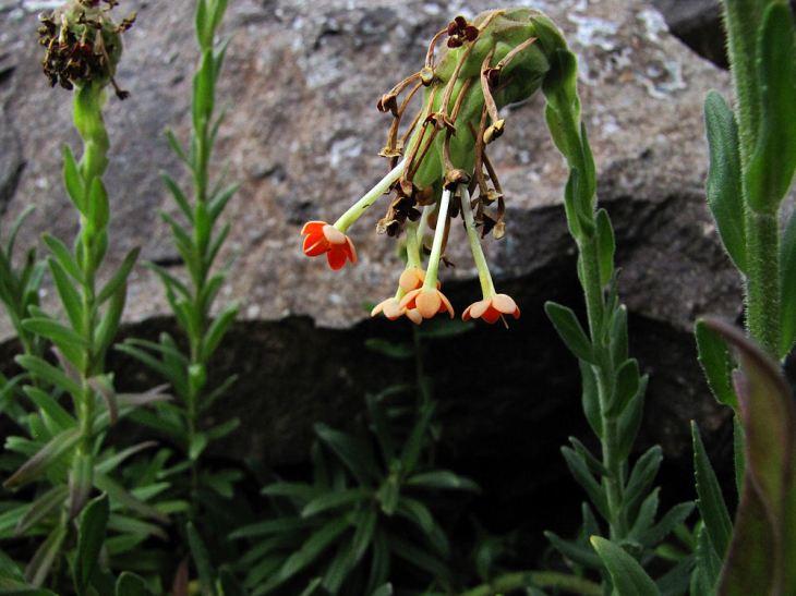 sani pass  Glumicalyx goseloides.res