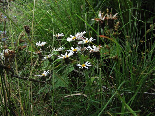 sani pass   white daisy res.