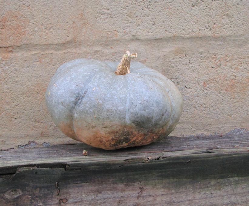 tutu pumpkin res.