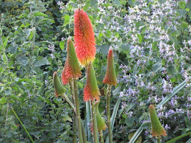 r kniphofia caulescens (1)