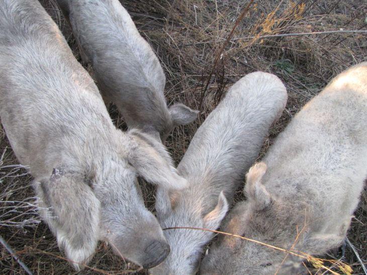 r pod pigs
