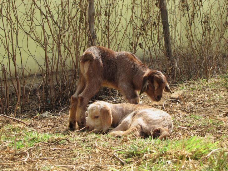 bulelani goats mpop res
