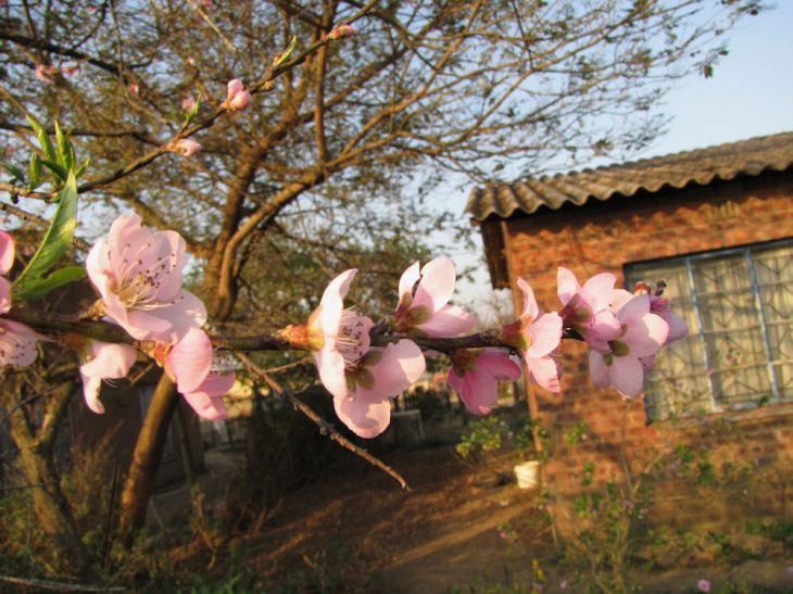 r peach blossom