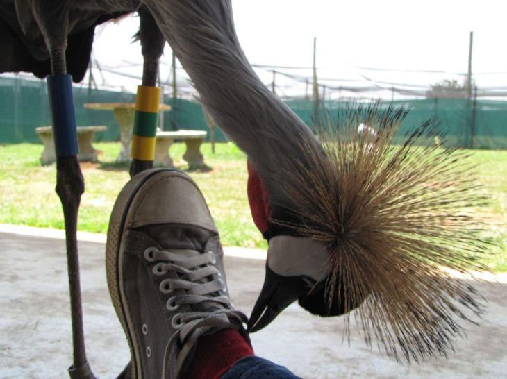 r boston shoelace