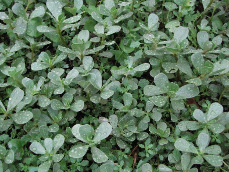 r succulent greens
