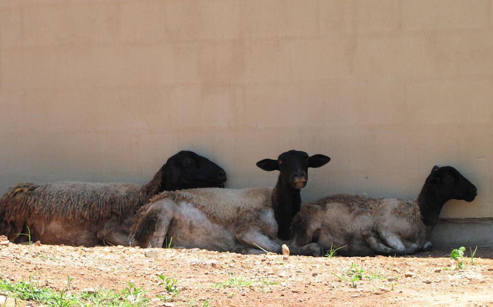 r Mpop sheep goats