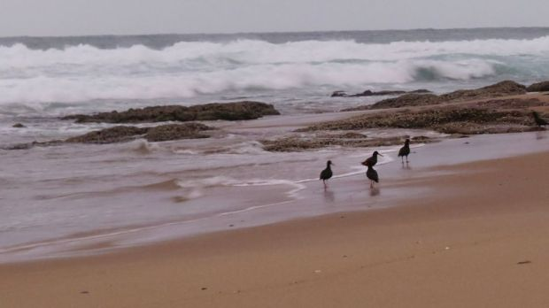 r oyster catchers