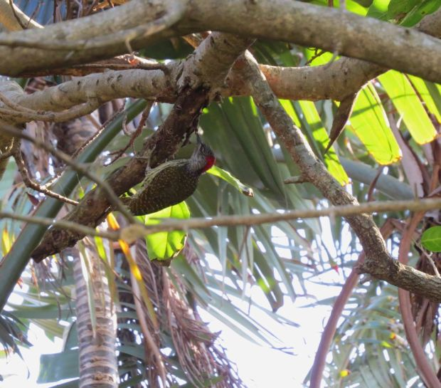 r cardinal woodpecker