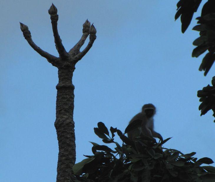 r cussionia monkey