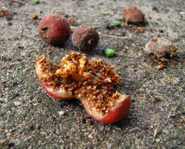 r fig fruit fig tree lane