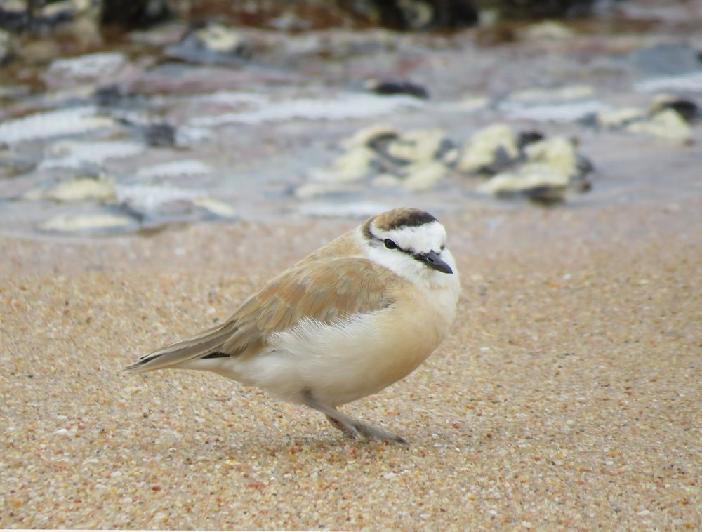 r sand bird