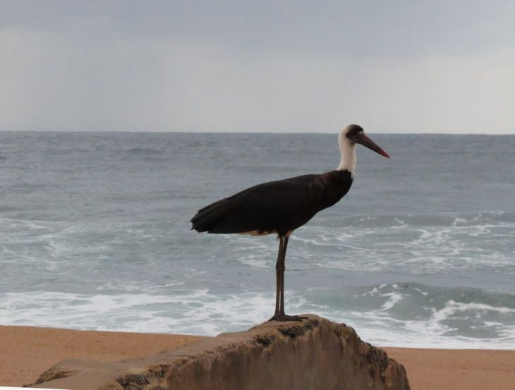 r wooly necked stork