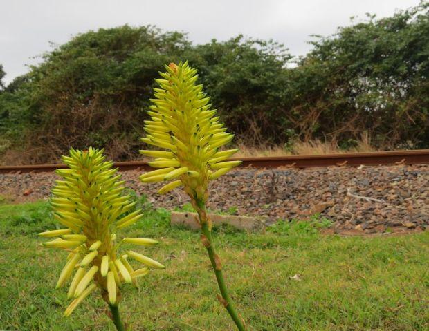 r yellow aloe railway line