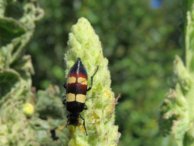 r beetle
