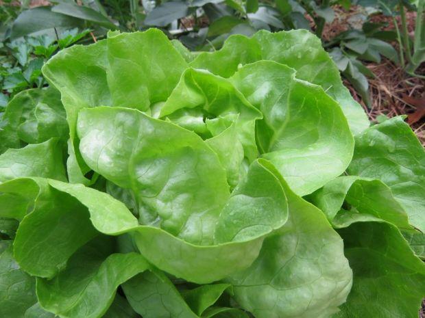 r butter lettuce