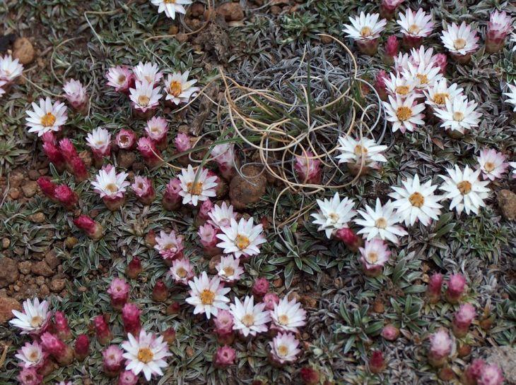 r helichrysum praecurrens