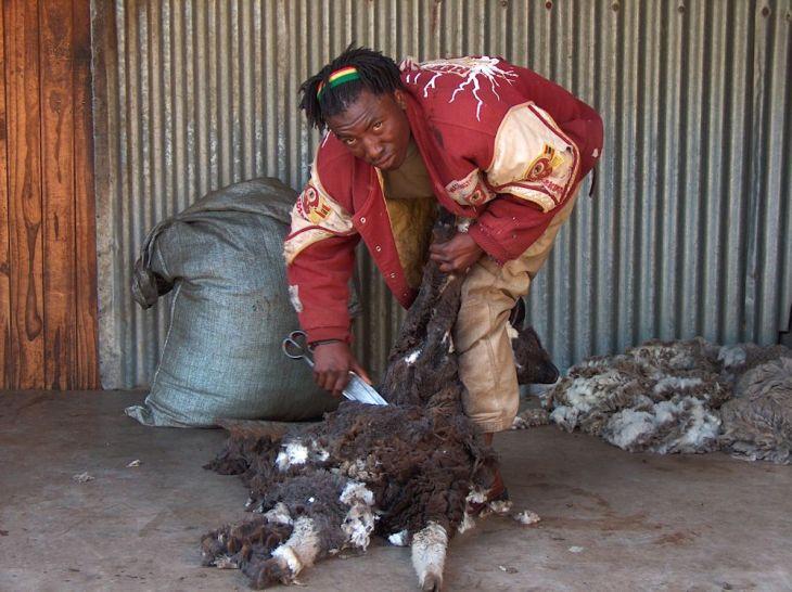 r sheep shearer