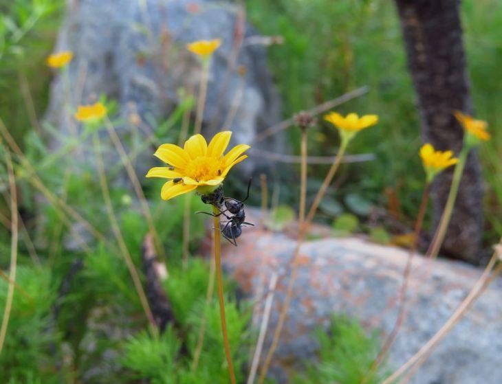 r ant yellow daisy