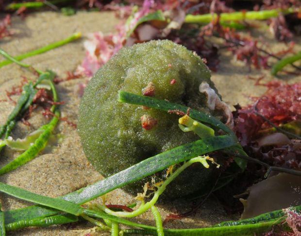r green ball seaweed