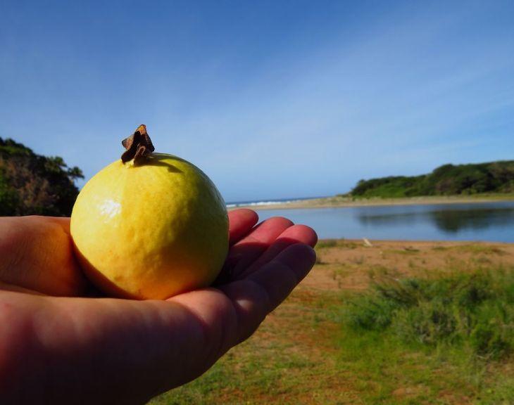 r guava