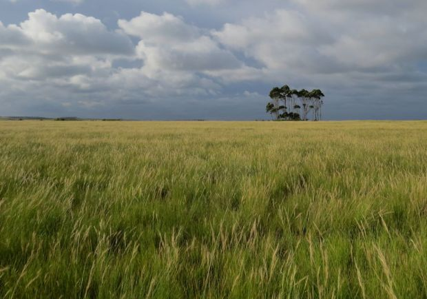 r gum trees grass