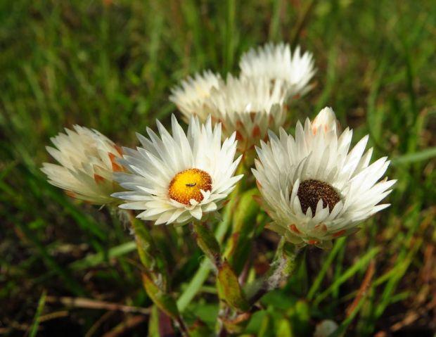 r helichrysum white