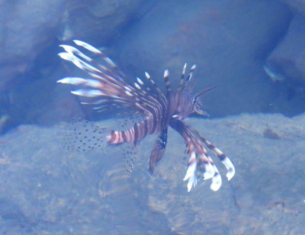 r lion fish