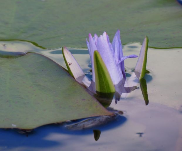 r water lily