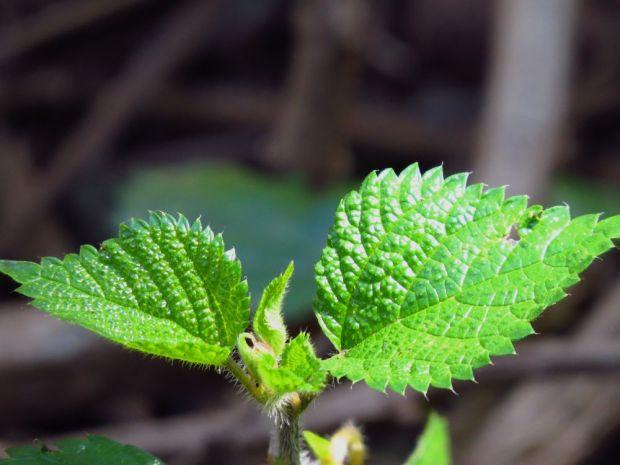 r nettle leaves