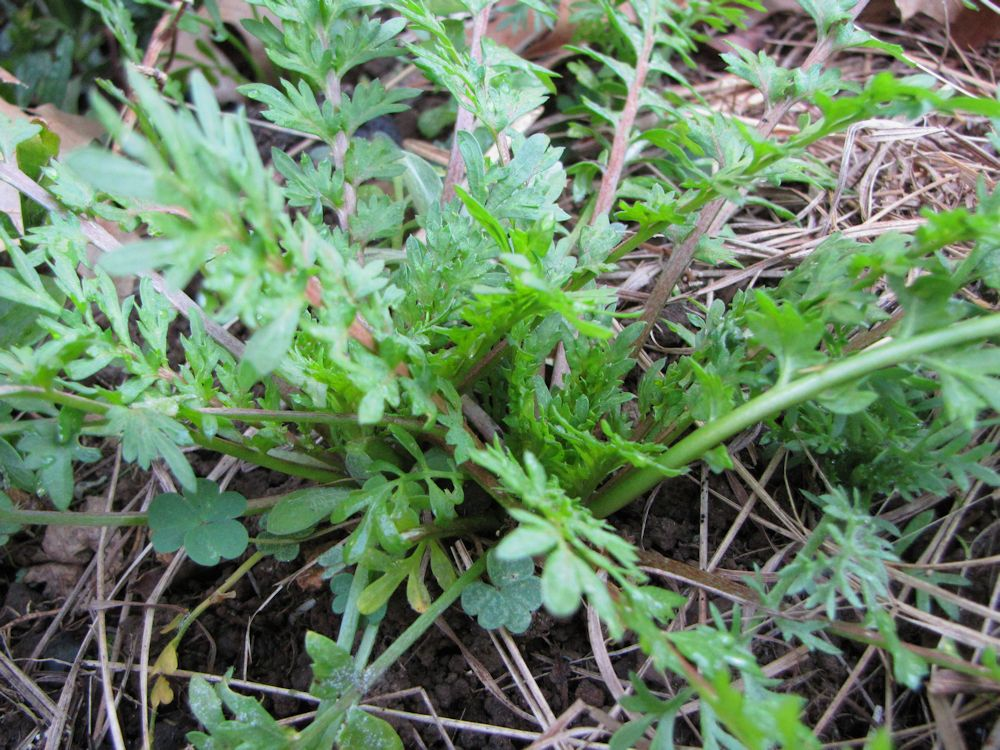 r pepper weed 004