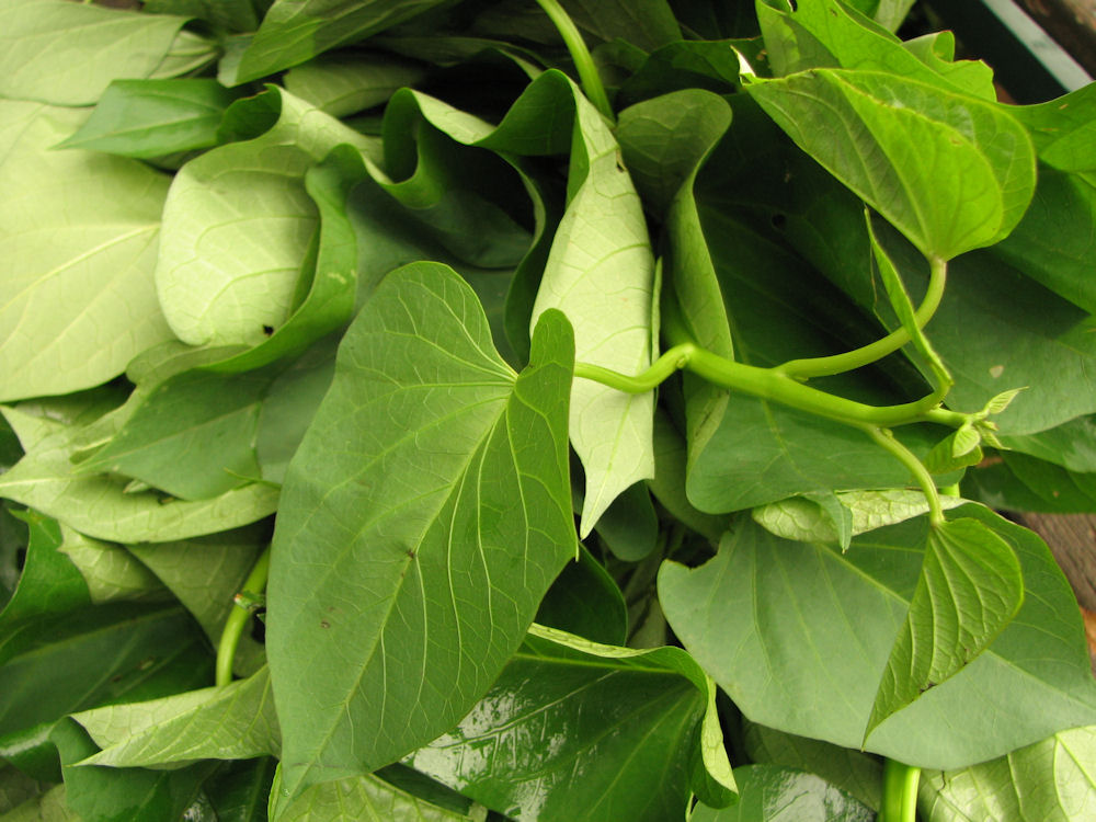 sweet potato leaves.res