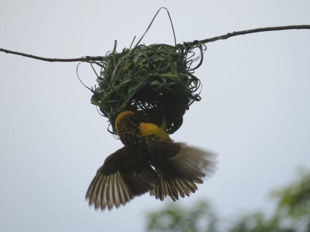 r weaver building nest