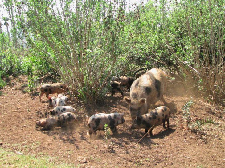 enaleni farm piglets r