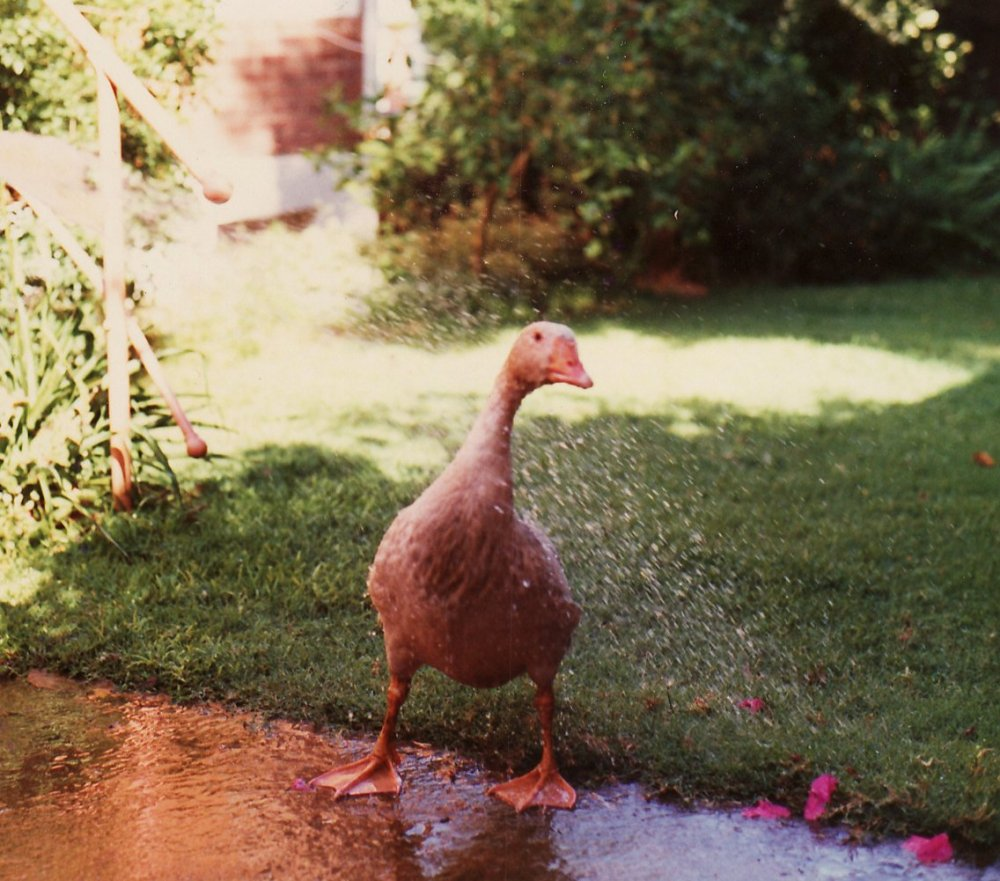 mandla the goose