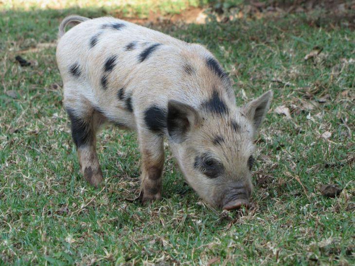 r enaleni farm piglet