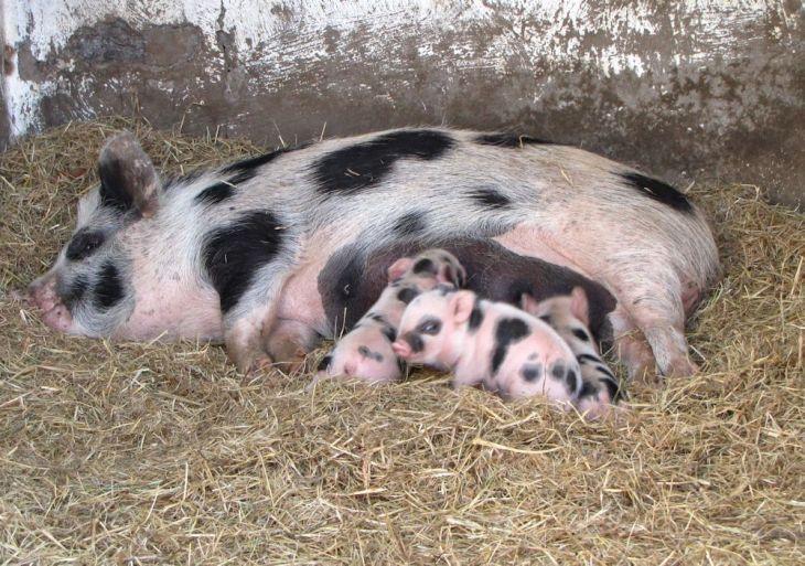 r enaleni piglets