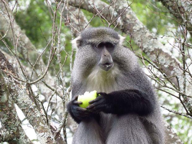 r samango monkey 010