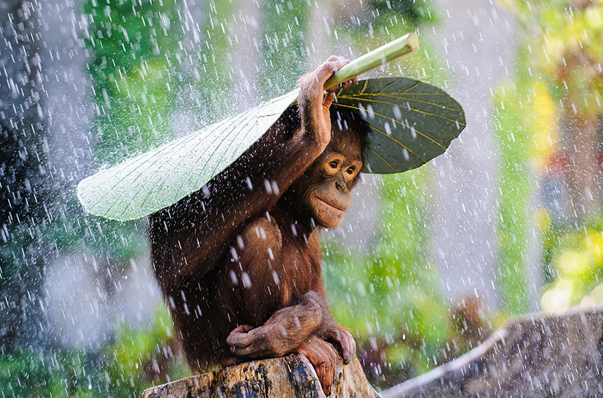 young Orangutan by Photographer Andrew Suryono