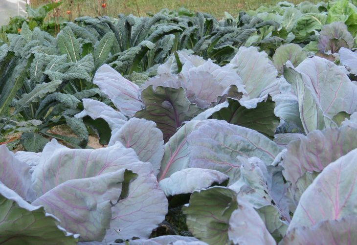 cabbage-and-kale