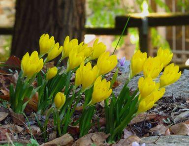 yellow autumn crocus