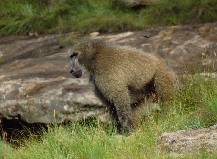 r-baboon-2