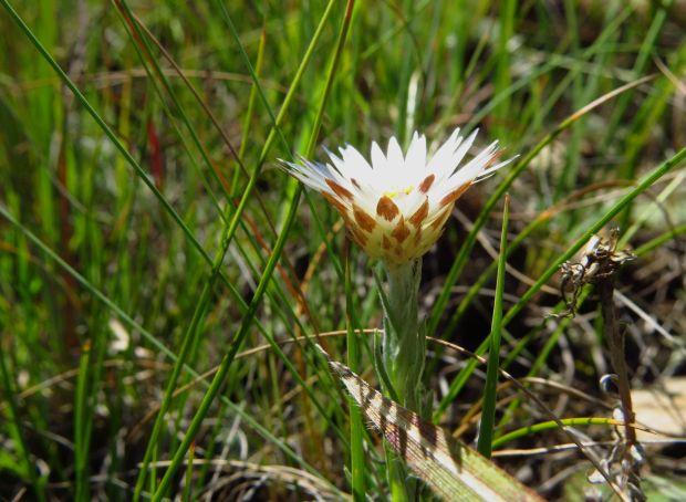 r helichrysum
